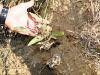 Mature echinacea plant